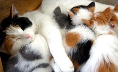 notizie animali, domande al veterinario, gatta, gatta che allatta, gatta con mastite