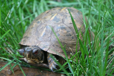 notizie animali, tartaruga di terra, giardino per tartaruga di terra, tenere la tartaruga in giardino, tartaruga da giardino, arredo giardino tartaruga