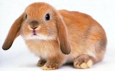 nottizie animali, coniglio, conigli, antiparassitari naturali per conigli, antipulci per conigli