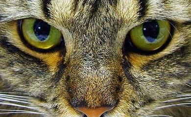 notizie animali, gatto, gatti, cataratta del gatto, operazione cataratta gatto