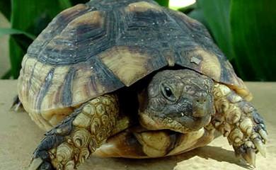 Il letargo delle tartarughe di terra ecco perch meglio for Tartarughe marine letargo