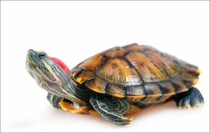 Quanto cibo dare a una tartaruga acquatica i consigli di for Tartaruga acquatica letargo