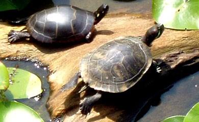 Accoppiamento tra tartarughe di razze diverse i consigli for Tartarughe razze