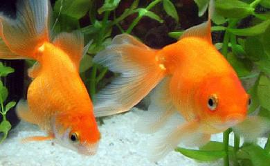 Perch i pesci a volte saltano fuori dalla vasca i for Pesci rossi acquario