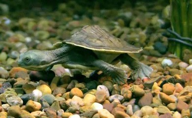 I sintomi delle malattie pi comuni delle tartarughe for Tartarughe acquatiche vendita