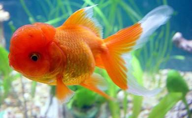 Alimentazione del pesce rosso i consigli di donnola tizia for Pesce oranda