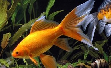 Pesce rosso che cambia colore normale i consigli di for Dove comprare pesci rossi