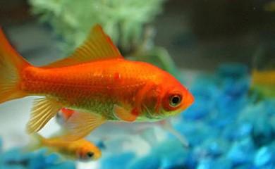 I pesci rossi riconoscono i loro padroni i consigli di for Acquario per pesci rossi usato