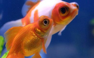 Riproduzione dei pesci rossi i consigli di donnola tizia for Pesci rossi piccoli