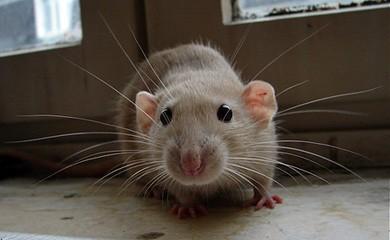 Felicit a portata di zampa avere in casa un ratto per amico caratteristiche generali dei - Come catturare un topo in casa ...