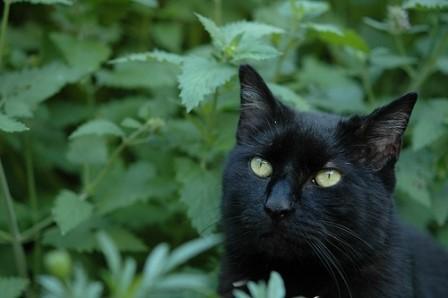 Caratteristiche dell erba gatta l erba che seduce i for Erba gatta effetti