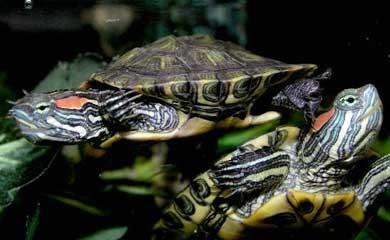 Quanto vive e quanto cresce una tartaruga acquatica i for Vasca per tartaruga acquatica