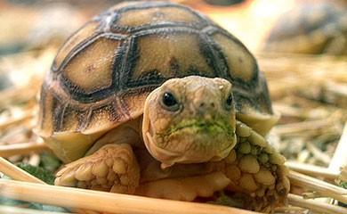 Cura della tartaruga terrestre riservarle uno spazio in for Tartaruga da giardino